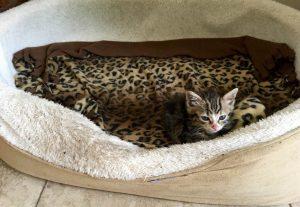 Quando Roxy não está, a gatinha corre para a caminha da cadela e fica deitada lá. (Foto: Reprodução / Sharra e Glenn Platt)