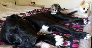 A gatinha se deu bem com todos os animais da casa, mas sua preferida é a Pit Bull Roxy, com quem ela adora se aninhar para dormir. (Foto: Reprodução / Sharra e Glenn Platt)