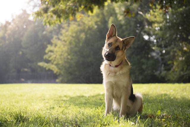 Existem diversos formatos de orelhas caninas. (Foto: Reprodução / I Heart Dog)