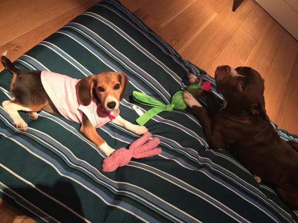 A beagle com sua nova irmã. (Foto: Reprodução / Instagram)