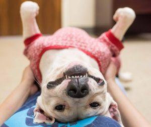 A ideia é que os interessados possam conhecer o cão melhor e ver como eles se comportam no ambiente de casa, longe do abrigo. (Foto: Reprodução / LifeLine Animal Project)