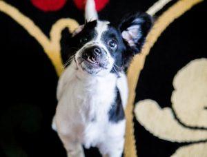 O cãozinho tem lábio leporino e fenda palatina, o que fez com que ele tivesse problemas para se alimentar quando era bebê. (Foto: Reprodução / Camila Teixeira Barros)