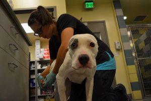 Os cães foram levados para receber cuidados médicos imediatamente após o resgate. (Foto: Reprodução / Riverside County Animal Services)