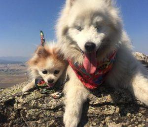 Os cães são inseparáveis, grandes amigos e estão sempre cuidando um do outro. (Foto: Reprodução / Instagram the.fluffy.duo)