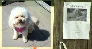 Seus tutores espalharam panfletos e apareceram na televisão procurando por Thabita, que reconheceu a voz de sua tutora durante reportagem. (Foto: Reprodução / Life With Dogs)