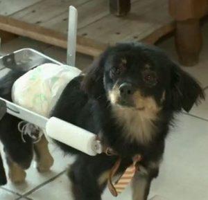 Com sua cadeira de rodas, Bolinha vai para todo lado. Para ele só falta agora uma família para lhe encher de amor. (Foto: Reprodução / RBS TV)