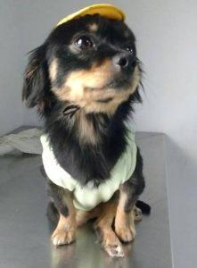 Bolinha foi resgatado muito magro e com uma fratura na coluna. Além disso, estava com anemia e infecção urinária. (Foto: Reprodução / Facebook Bolinha, o cão de cadeirinha)