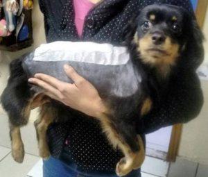 Cãozinho passou por uma delicada cirurgia de estabilização da coluna. (Foto: Reprodução / Facebook Bolinha, o cão de cadeirinha)