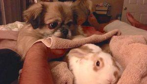 O cão ajuda os coelhos com todo o seu cuidado e amor. (Foto: Reprodução / Samantha Tungul)