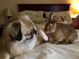 Humphrey era um cão indiferente até conhecer coelhos. (Foto: Reprodução / Samantha Tungul)