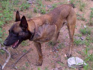 O cão passou por duas cirurgias e precisou amputar a perna machucada. (Foto: Reprodução / Transfrontier Africa)