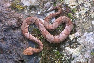 A cobra que iria atacar o bebê e picou o cão é venenosa. (Foto: Reprodução / TN Snake ID)
