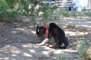 Cadelinha foi encontrada em péssimas condições. (Foto: Reprodução / SPCA do Texas / Madeline Yeaman)