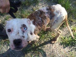 O pequeno cão foi encontrado com graves problemas de pele e extremamente magro. (Foto: Reprodução / Tiana Cabana)
