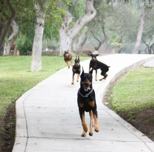Os quatro cães de Leslie estão sempre brincando juntos. (Foto: Reprodução / Instagram @thedobieteam)