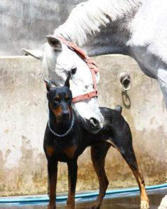 Mas, de toda a turma, uma amizade é especial, a do cão Boss com o cavalo Contino. (Foto: Reprodução / Instagram @thedobieteam)