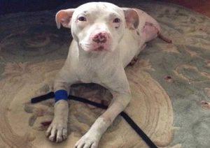 Por conta do acidente, a cadela perdeu uma perna e parte da cauda. (Foto: Reprodução / BARCS Animal Shelter)