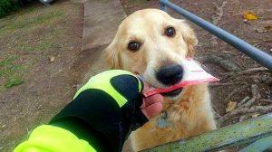 A cadelinha Pippa adora receber as correspondências da família quando o carteiro chega. (Foto: Reprodução / Life With Dogs)