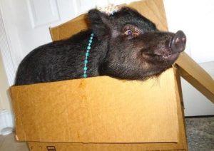 Ao levar a cadelinha para casa, a mulher ficou preocupada que Blue, sua porquinha de terapia, ficasse com ciúmes. (Foto: Reprodução / Jahara Zamora)