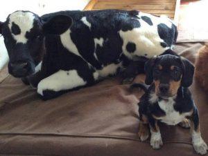 Os dois animais foram resgatados e se conheceram no santuário. (Foto: Reprodução / Juliana's Animal Sanctuary)