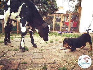 O cão e o bezerro estão sempre brincando juntos e não perceberam a diferença entre eles. (Foto: Reprodução / Juliana's Animal Sanctuary)