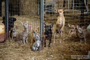 O primeiro local visitado parecia ser um criadouro ilegal de Chihuahuas. (Foto: Reprodução / Animal Rescue Corps / Amiee Stubbs)