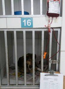 O cão Bento fez transfusões de sangue e segue internado em tratamento. (Foto: Reprodução / Facebook Ana Maria de Barros)