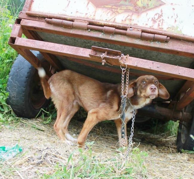 O cão foi abandonado de maneira cruel. (Foto: Reprodução / The Dodo)