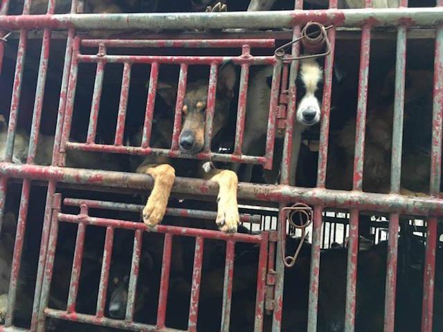 Cerca de 300 cães foram resgatados. (Foto: Reprodução / Facebook / Humane Society International)