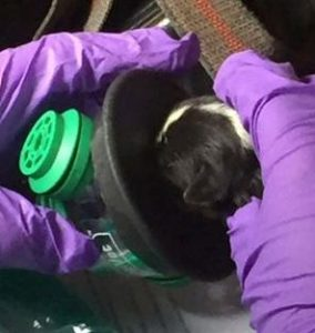 Dois dos filhotes sobrevireram graças ao novo kit dos bombeiros que contém máscaras de oxigenação própria para animais. (Foto: Reprodução / Facebook Newton Abbot Fire Station)