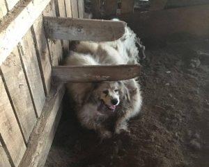 Cão estava vivendo em um celeiro imundo e em meio a fezes. (Foto: Reprodução / C e Jessica Kincheloe)