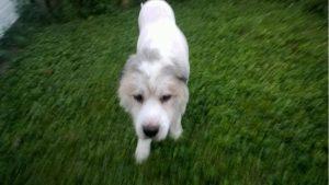 Sem os pelos e a sujeira o cão ficou mais livre, leve e estava caminhando bem melhor. (Foto: Reprodução / C e Jessica Kincheloe)