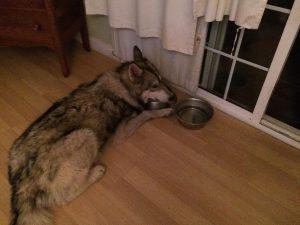 O animal estava bastante desnutrido e muito faminto. (Foto: Reprodução / Animal Rescue Team)