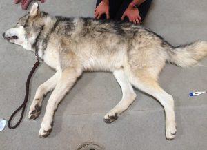 Antes de ser resgatado, Rex vivia dentro de uma gaiola no quarto de um estudante uma residência universitária. (Foto: Reprodução / Animal Rescue Team)