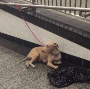 Cadela foi abandonada em uma estação de metrô em Nova York. (Foto: Reprodução / Sarah Borok)