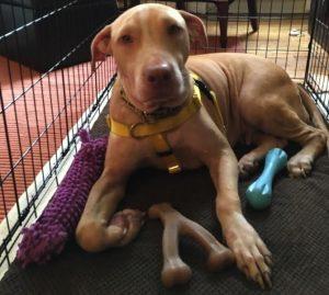 Agora, Betsey está finalmente podendo aprender o que é ser um cão amado e bem cuidado. (Foto: Reprodução / Mr. Bones & Co.)