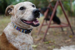 A cadelinha estava com sua eutanásia prevista quando recebeu uma nova chance ao ser levada pela Família Desmond. (Foto: Reprodução / Jenny Desmond)