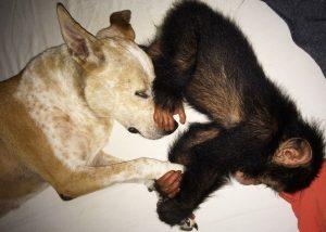 A cadela está dando todo o seu amor e carinho para filhotes de chimpanzés que perderam suas famílias. (Foto: Reprodução / Jenny Desmond)