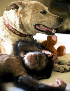 Princess está sendo fundamental na preparação para a eventual integração destes filhotes em uma nova família de chimpanzés. (Foto: Reprodução / Jenny Desmond)