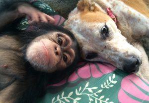 A cadela Princess simplesmente abriu o seu coração e sua alma para os chimpanzés. (Foto: Reprodução / Jenny Desmond)