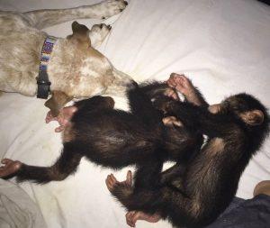 Com Princess os chimpanzés se sentem muito seguros. (Foto: Reprodução / Jenny Desmond)
