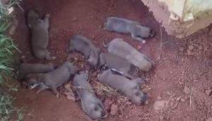 A cadela, que sempre viveu presa do lado de fora de casa, colocou os seus filhotes em um buraco para protegê-los até receber ajuda. (Foto: Reprodução / Mr. Bones & Co.)