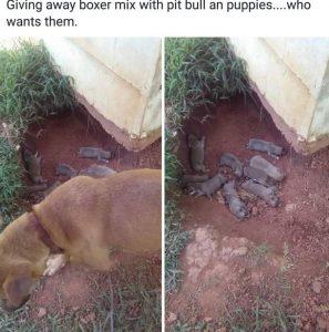 Tutor publicou no Facebook que estava doando sua cadela e seus nove filhotes recém-nascidos. (Foto: Reprodução / Mr. Bones & Co.)