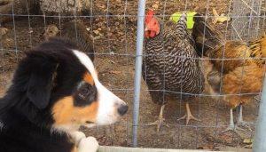 Quando o cão Finn entrou para a família, seus pais humanos já tinham 4 galinhas. (Foto: Reprodução / Kate Kadowaki)