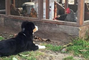 O que o cãozinho mais quer é fazer amizade com suas irmãs galinhas. (Foto: Reprodução / Kate Kadowaki)