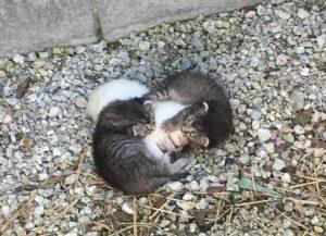 Os filhotes foram encontrados amontoadoos. (Foto: Reprodução / Naples Cat Alliance)