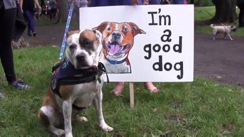 A cidade de Montreal, no Canadá, aprovou uma lei que proíbe animais da raça Pit Bull e cães que se assemelham a esta raça. (Foto: Reprodução / City News Canada)