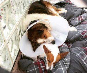 Os cães estão sempre um do lado do outro. (Foto: Reprodução / PSPCA)