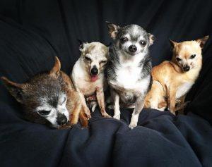 Cuidando de MoMo, Julie percebeu o quanto os cães idosos são negligenciados e decidiu adotar mais cães velhinhos. (Foto: Reprodução / Julie Docherty)