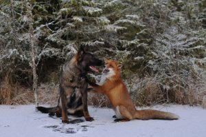 Contrariando todas as probabilidades, cão de caça e raposa se tornaram grandes amigos. (Foto: Reprodução / Facebook Torgeir Berge)